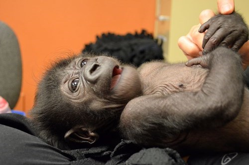 cute,gorilla
