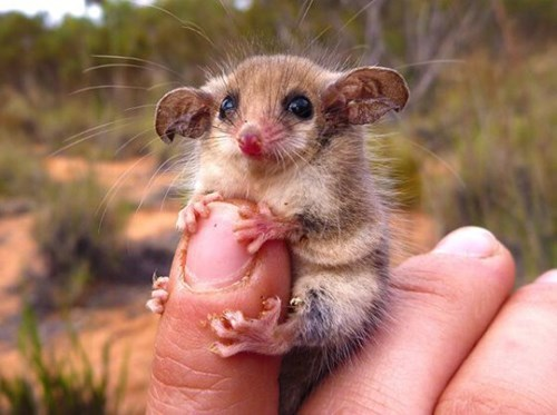 cute western pygmy-possum - 8333174784