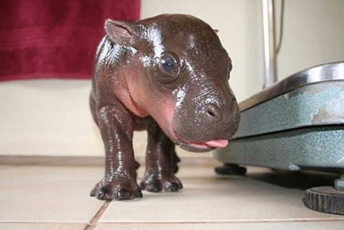 cute,hippo,tongue out