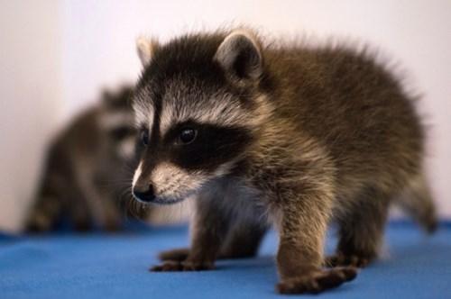 cute raccoons - 8335798784