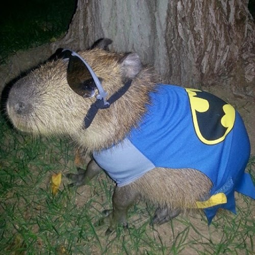 costume,batman,capybara,poorly dressed,sunglasses