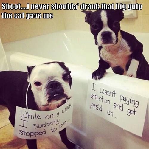 boston terrier pee - 8337685760