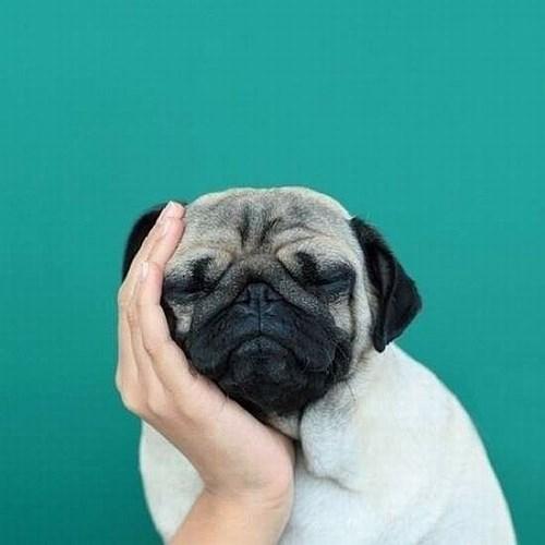 boring dogs pug - 8337777664
