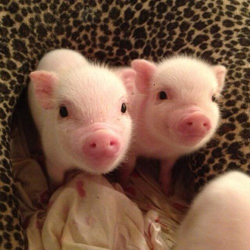pig,cute,twins