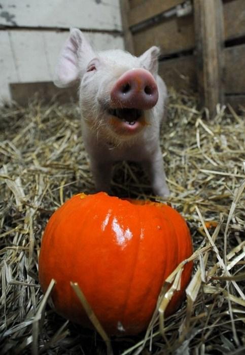 pumpkins,halloween,pig,cute