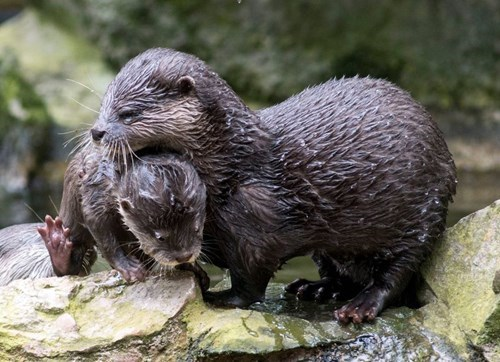 cute,swimming,otter