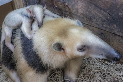 zoo,cute,tamandua
