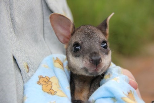 cute Joey kangaroo zoo - 8339727616