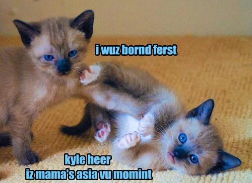 Cats deja vu siamese twins - 8339748608