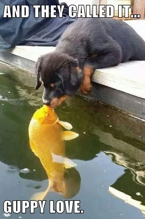 guppy love dog meme of puppy kissing a gold fish