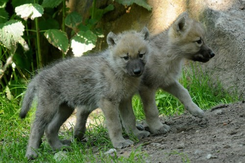 wolves,gray wolves,cute