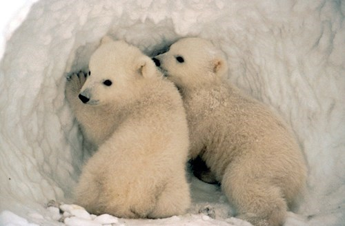 snow polar bear cute cubs winter