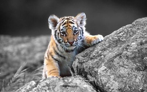cub,cute,tiger