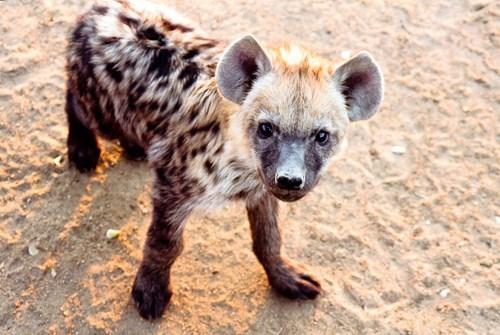 cute,hyena