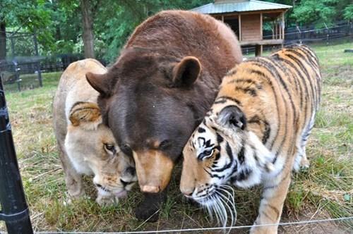 feels BFFs bear tiger lion caption - 8341602816