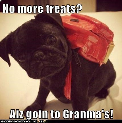 dogs pug puppy grandma squee - 8342513920