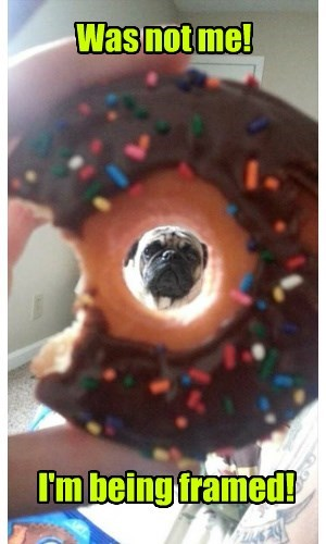 dogs,framed,pug,donut