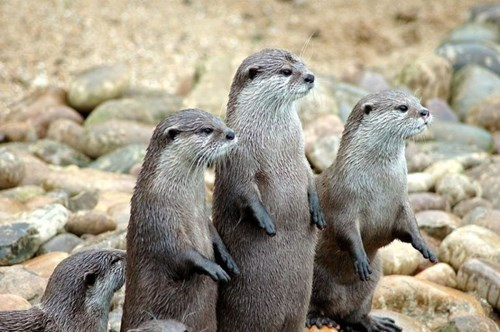 cute otters Video live feed - 8347417600