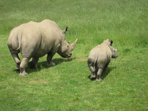 rhino cute - 8348590336