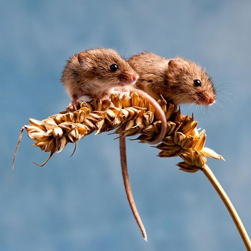 cute mice twins - 8348636160
