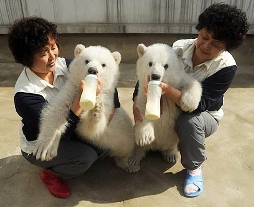 polar bear cute cubs feeding - 8348641024