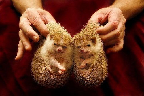 cute,hedgehog,twins