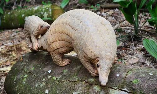 Sunda Pangolin cute - 8348952832