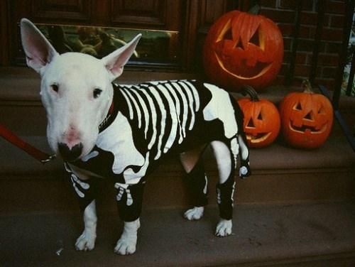 dogs,halloween,cute,pupmkins