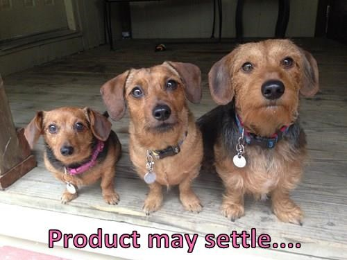 animals dogs dachshund terrier - 8350718208