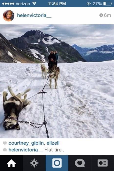 sledding dogs puns huskies - 8351126784