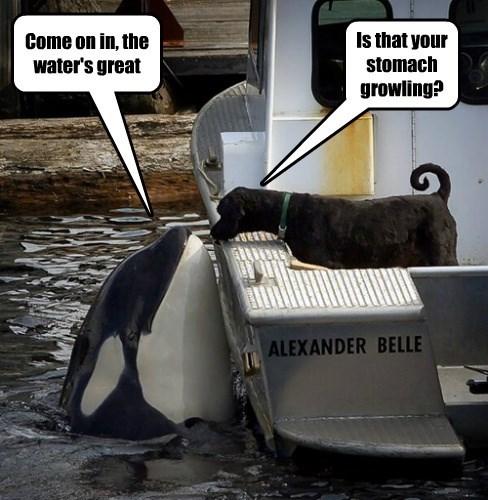 labrador orca trick whale - 8354327296