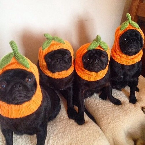 costume cute dogs halloween pug pumpkins - 8354957056