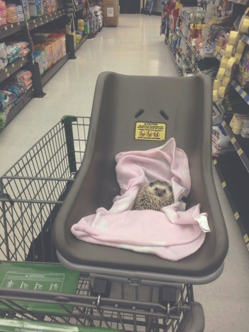 cute,hedgehog,shopping cart