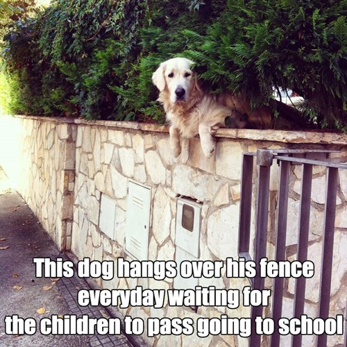 school,waiting,golden retriever