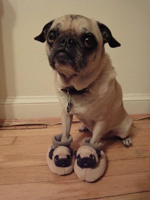 cute dogs pug - 8356255488