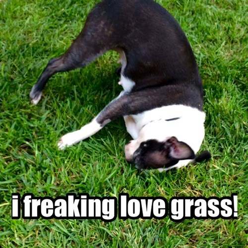 dogs grass boston terrier - 8356572416
