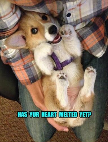 dogs corgi puppy squee - 8356574976