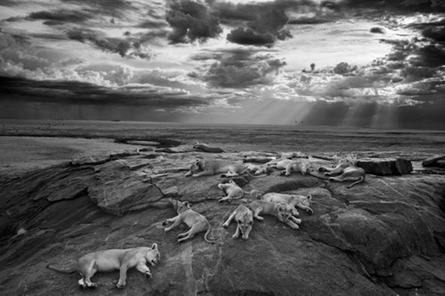 awesome animals Photo lions photographer - 8356960512