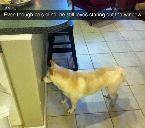 dogs blind shiba inu window - 8358493952