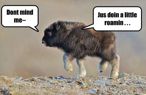 baby animals buffalo squee - 8359282944
