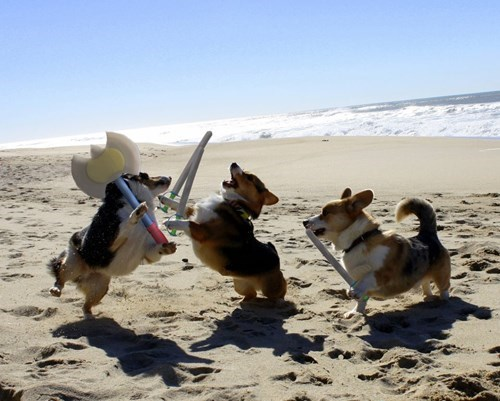 epicute,Battle,dogs,corgi