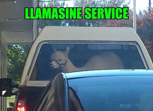 llama puns car service - 8361616640