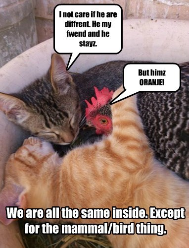 Cats,chicken,friends,tabby