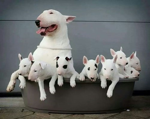 bull terrier dogs puppy cute terrier - 8362113024