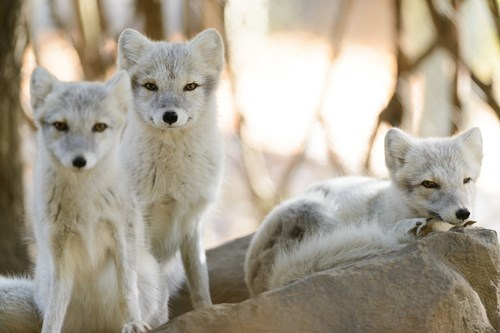 foxes,arctic fox,cute
