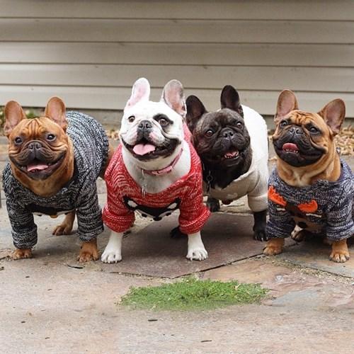 fashion sweaters french bulldogs cute fall - 8362140416