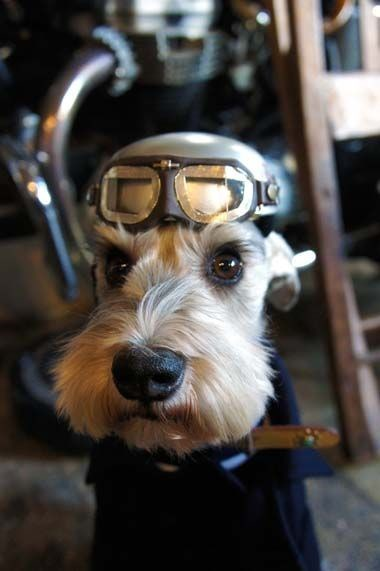 Mini Schnauzer Preparing for Takeoff