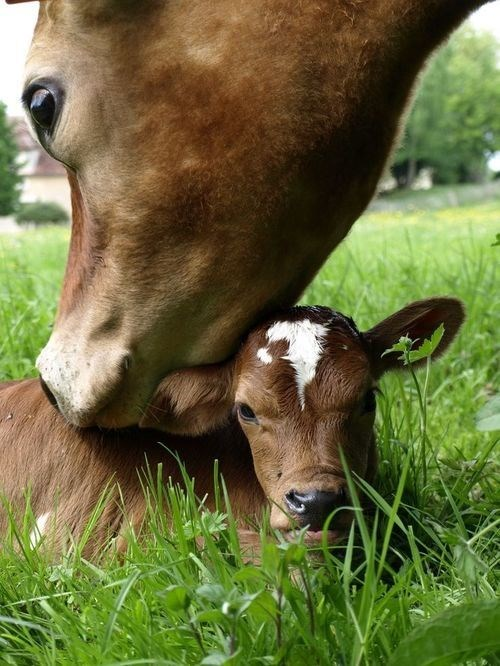 calf,cow,cute