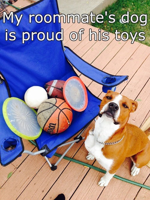 dogs,toys,treasure,pit bull,proud