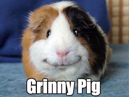 guinea pig squee smile - 8362201344